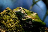 Australian Green Tree Frog Gold Coast Queensland Australia
