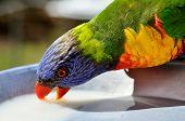 picture of lorikeets  - One Native Australian Rainbow Lorikeet drinks from feeding plate - JPG