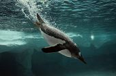 Gentoo Penguin Swim Underwater