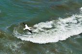 foto of gannet  - Gannet fly over the sea in Muriwai gannet colony in Muriwai Regional Park New Zealand - JPG