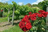 Red Rose Flowers In Vineyard