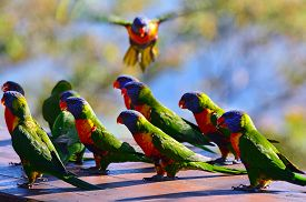 stock photo of lorikeets  - Flock of Native Australian Rainbow Lorikeet gathering together. ** Note: Shallow depth of field - JPG