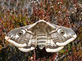 image of emperor  - Female Emperor Moth on clump of heather - JPG