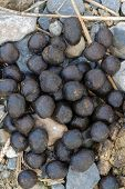 stock photo of decomposition  - Fresh sheep droppings on grass and stones - JPG