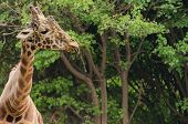 image of long tongue  - Giraffe sticking out tongue green forest background - JPG