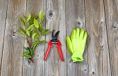 picture of prunes  - Top view angled shot of pruning shears work gloves and a freshly cut branch on rustic wood - JPG