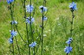 picture of chicory  - Blue Chicory flower  - JPG