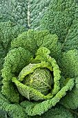 picture of water cabbage  - Background from green decorative cabbage with water drops - JPG