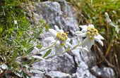 image of edelweiss  - Edelweiss  - JPG