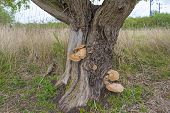 pic of fungus  - Fungus on a tree along a railroad in spring  - JPG