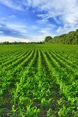 image of corn  - Corn field and blue sky in the summer - JPG
