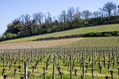 pic of bordeaux  - growth of a vineyard in the countryside of Saint Emilion Bordeaux France - JPG