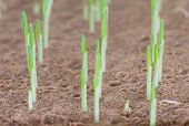 foto of corn stalk  - Young sweet corn seedling growing in a soil for experiment - JPG