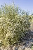 picture of bridal veil  - Retama monosperma bridal veil broom a flowering bush in the genus Retama - JPG