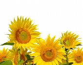 stock photo of husbandry  - sunflower field close up on white background - JPG