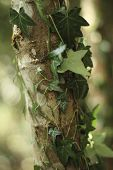 stock photo of ivy  - Ivy wrappy around a young tree close up - JPG
