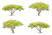 stock photo of linden-tree  - Four trees collection isolated on white background - JPG