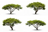 pic of linden-tree  - Four trees collection isolated on white background - JPG