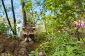 foto of scared baby  - A Baby Raccoon playing in the garden - JPG
