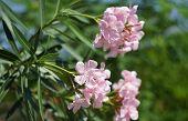 picture of oleander  - Oleander Rose bay flower with leave - JPG