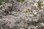 picture of cherries  - Closeup to Cherry blossoms in the spring - JPG