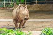 stock photo of rhino  - Adult rhinoceros called rhino in a zoo - JPG