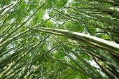 image of bamboo forest  - Look up at green flourish bamboo forest - JPG