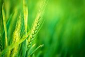 foto of cultivation  - Green Wheat Head in Cultivated Agricultural Field Early Stage of Farming Plant Development Selective Focus with Shallow Depth of Field - JPG