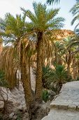 picture of oasis  - View of the mountain oasis Chebika in Tunisia  - JPG