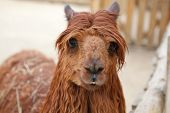 stock photo of lamas  - red funny lama with stylish haircut portrait - JPG