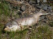 stock photo of maggot  - Dead fish lying in grass near lake - JPG