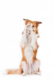 pic of border terrier  - beautiful red border collie dog posing and closes one eye isolated on white - JPG
