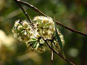 Gumtreeflower_1692_Filtered