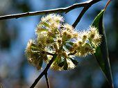 Gumtreeflower_1699_Filtered