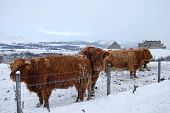 Cattle At Ruthven