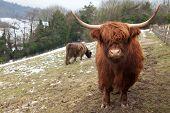 Highland Cow Looking At Camera