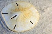 picture of sanddollar  - sand dollar lying in the sand on the beach - JPG
