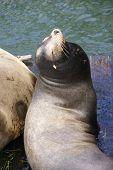California Sea Lions, Basking In The Sun