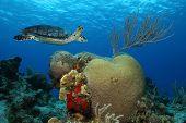 Hawksbill Turtle (Eretmochelys imbricata) and brain coral - Cozumel Mexico