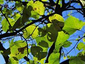 picture of judas tree  - leaves of Cercis siliquastrum judas tree in backlight - JPG