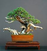 Pinus mugo Bonsai com Deadwood