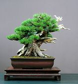 Mugo Pine Bonsai