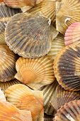 live scallops background