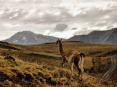Llama in the hills of Torres Del Paine