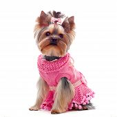 Cute Yorkshire Terrier In Pink Dress