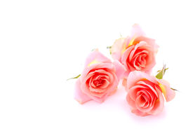 foto of pink rose  - three pink roses on white background with space for copy - JPG