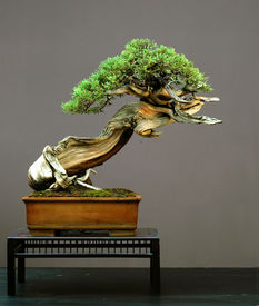 stock photo of bonsai tree  - rocky mountain juniper juniperus scopulorum 50 cm high more than 500 yeas old collectd in wyoming styled by walter pall pot by derek aspinall picutre summer 2006 - JPG