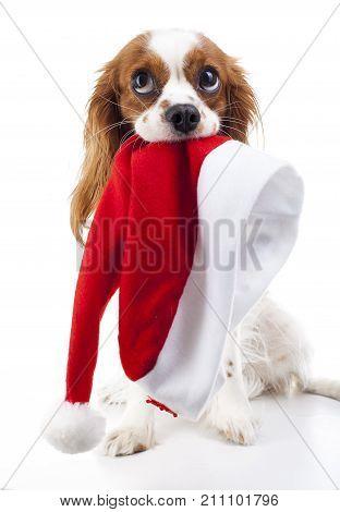 poster of Dog with Santa hat. Christmas dog in studio. White background king charles spaniel dog. Christmas time. Santa hat with dog. Cute.