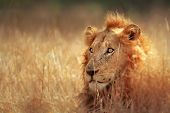 pic of grassland  - Big male lion lying in dense grassland  - JPG