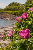 coastal scene of beach roses